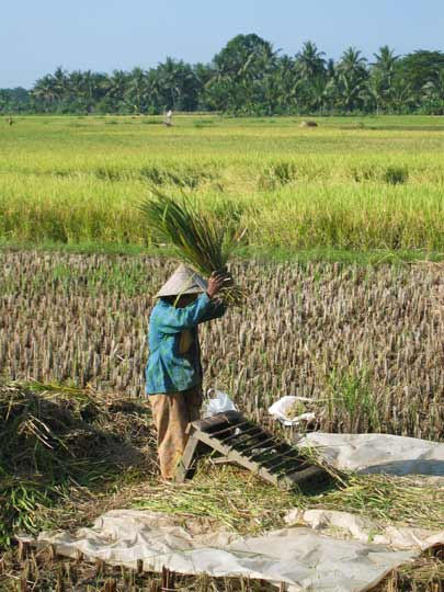 Harvesting rice in Bojonegara, Java